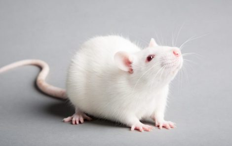Changes to Nerve-Muscle Junction Tied to Degeneration in CMT2D Mice